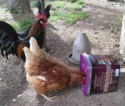 des poules picorant des graine de la marque gasco