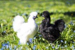 prendre soin des poules