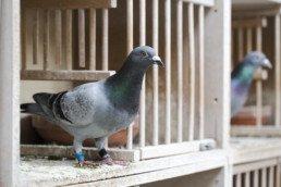 bien nourrir pigeon