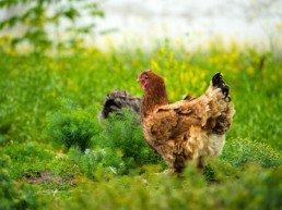 nourrir ma poule