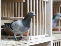 deux pigeons dans leur pigeonnier