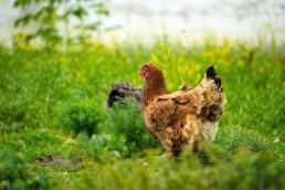 deux poules dans un champ d'herbe
