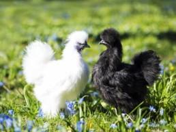 deux poules dans un jardin
