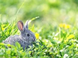 lapin gris dans l'herbe