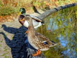 deux canards autour d'un bassin